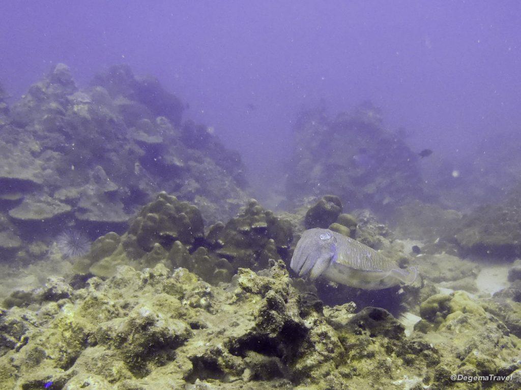 Cuttlefish near Phuket, Thailand