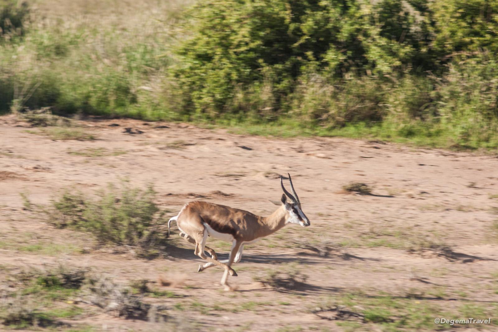 A springbok in Namibia