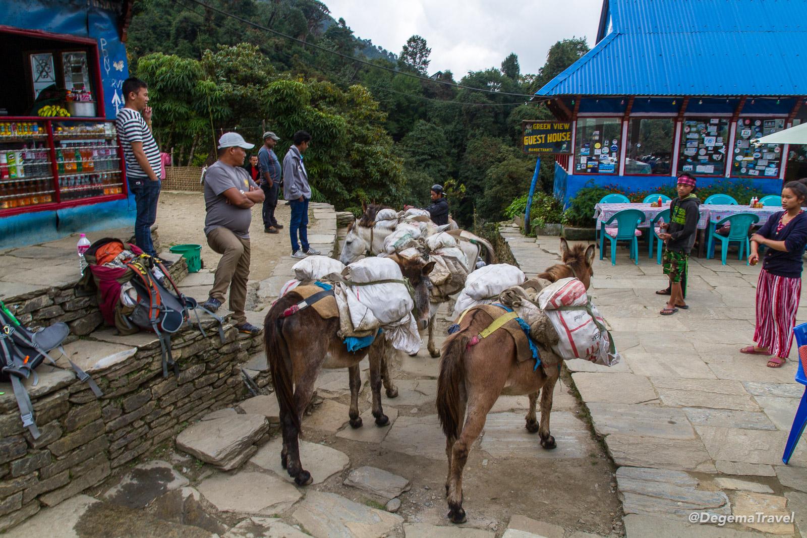 A mule train near Ulleri in the Annapurna Conservation Area, Nepal